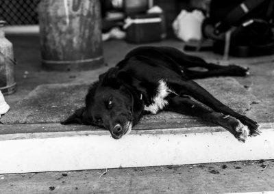 Cattle dog lying down